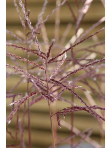 "Miscanthus sinensis ""Gracilimus""  - Prachtriet"