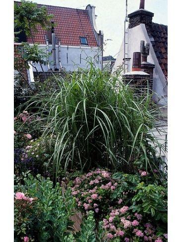 Prachtriet - Miscanthus sinensis 'Graziella'