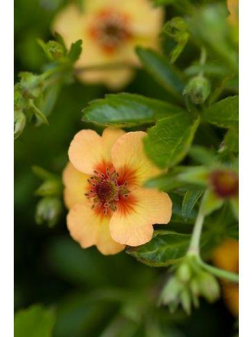 Ganzerik - Potentilla fruticosa 'Hopley's Orange'