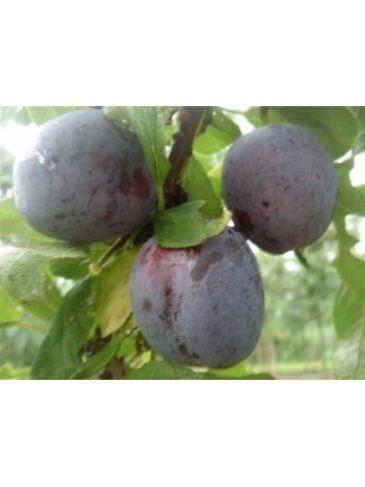 Prunus d. 'Opal' Zoete pruim