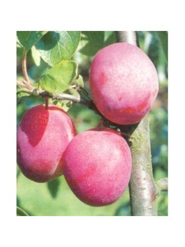 Prunus d. 'Victoria' Rode pruim