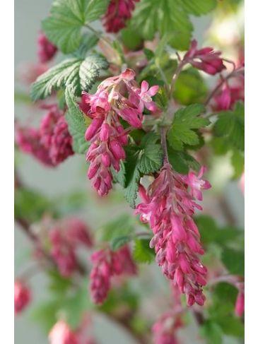 Ribes sanguineum 'King Edward VII' - Ribes