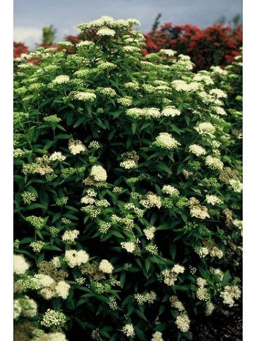 Spiraea japonica ´Albiflora´- Spierstruik