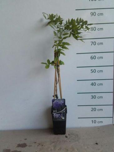Wisteria sinensis Prolific -Blauwe-regen